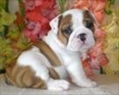 TWO.BEAUTIFUL CHARMING ENGLISH BULLDOG PUPPIES READY  AL