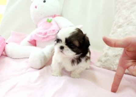 Beautiful Shih Tzu puppies ready for home adoption