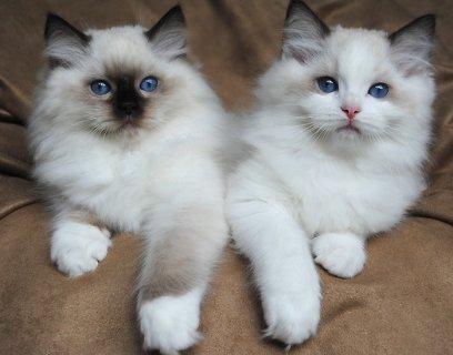صغار القطط دوول رائعتين