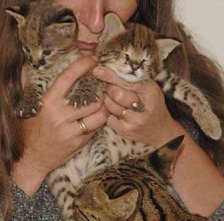 3 القطط سافانا للتبني
