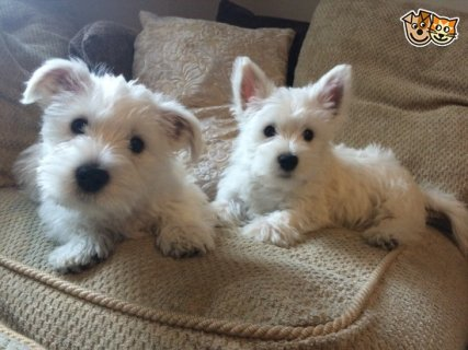 West Highland Terrier Puppies available.
