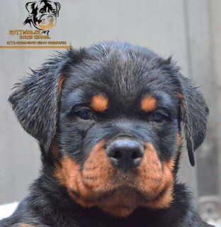 For Sale champion puppis rottwieler 3 month