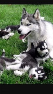 Fantastic Siberian Husky Puppies For Sale