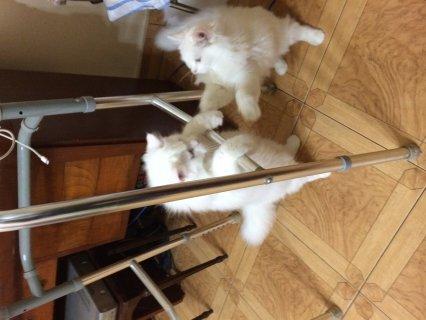 2 قطط شيرازي للتبنى