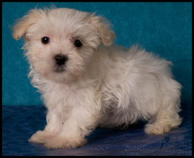maltipoo, bichon poo, bich poo puppies for sale
