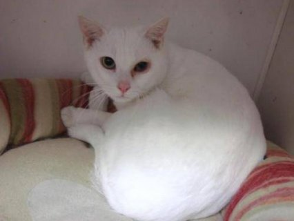 صور Domestic Short Hair  White Yoshi kittens 1