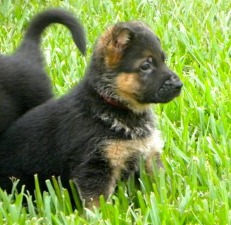 European-line German Shepherd puppies-AKC registered