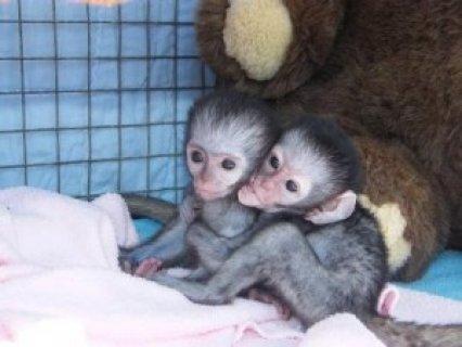 Freshly Vet Checked Home Trained Capuchin mariembida1@gmail.com