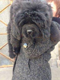 للغواه فقط اجمل واتقل جراوى tibetan mastiff