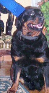 كلبة  انثى رود امريكى مستورد