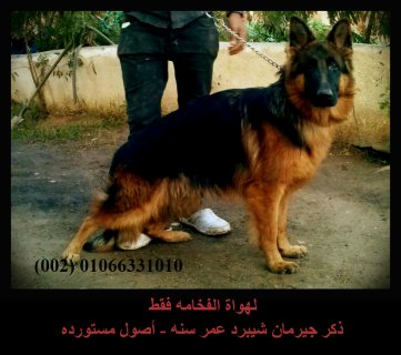 Luxury German Shepherd Male