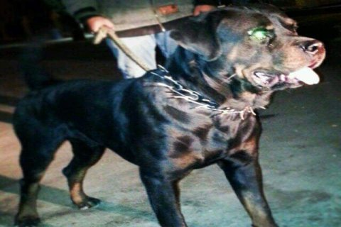 Mivec\' Rottweiler for sale