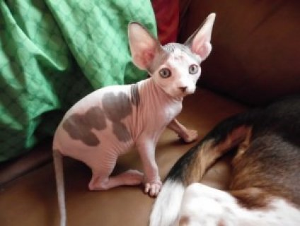 Beautiful Female TICA Sphynx Kitten
