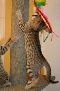 Extremely Cute Savannah Kittens Available