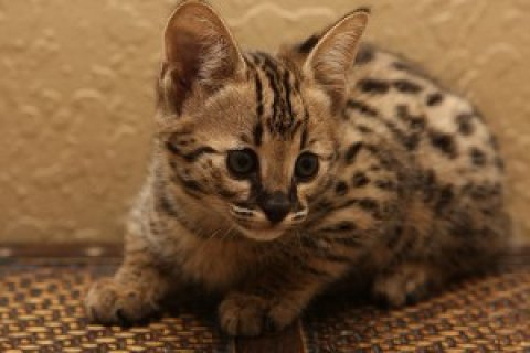High Percentage  - Savannah Kittens For Sale -