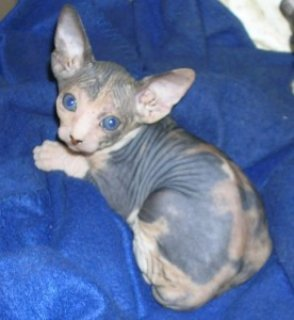 High Quality and Nice Male and Female Sphynx Kittens for Adoptio