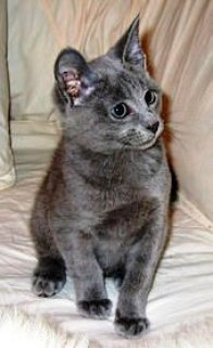 Cute male and female Russian blue kitten for re-homing