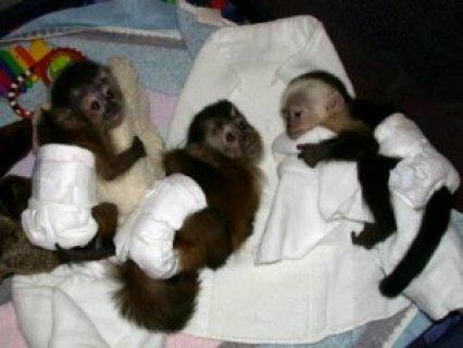 Lovely Baby Capuchin Monkeys for Adoption