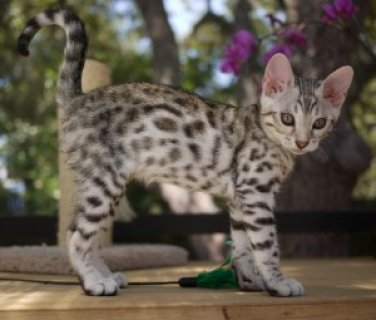 صور If you are Looking for a Bengal kittens 1