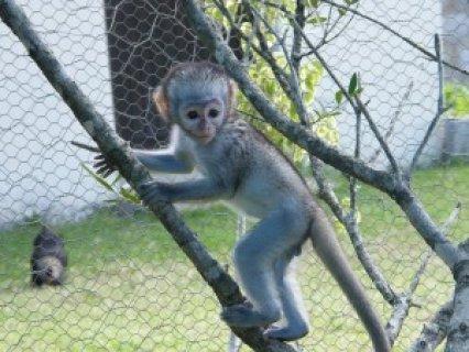 Babies Capuchin monkeys For Adoption