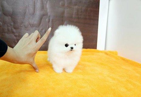 بيضاء الجراء كوب الشاي كلب صغير طويل الشعر الجبهة الوطنية الروان