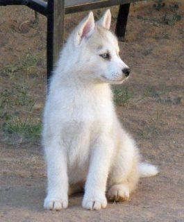 Excellent  Blue eyes Siberian Husky Puppies For Sale
