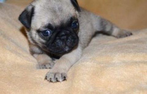 Cuddle Pugs Kc Registered Black To Black Pugs