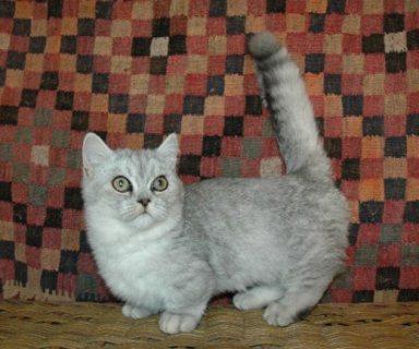 Munchkin Kittens Registered