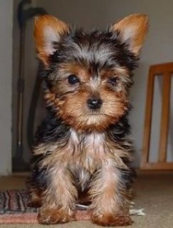 Healthy Male And Female Yorkshire Terrier Puppies