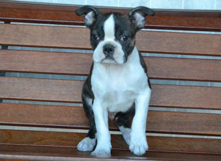 AKC Boston Terrier for Adoption
