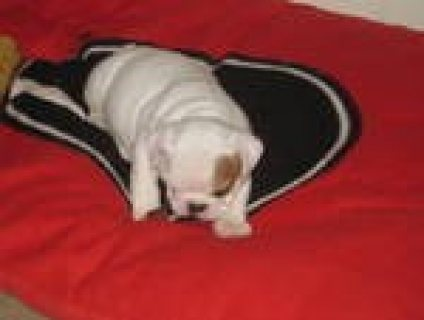 Male and Female English bull dog puppies for adoption