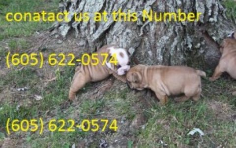 Bulldog Puppies for for adption