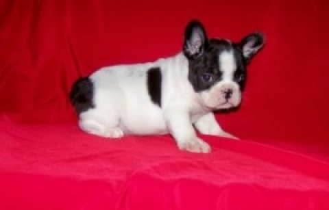 Gorgeous French Bulldog puppies ready for adoption