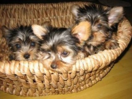 3 Yorkies for Adoption