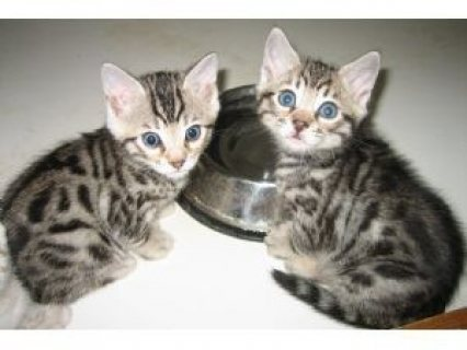 Home Trained Male And female bengal kittens for sale now ready t