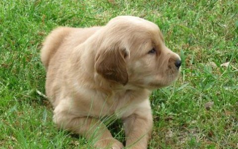 Championship Golden Retriever Puppies