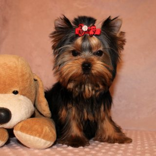 Home Raised Teacup Yorkshire Terrier Puppies For sale