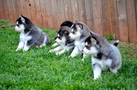 Pomsky Puppies With Blue eyes