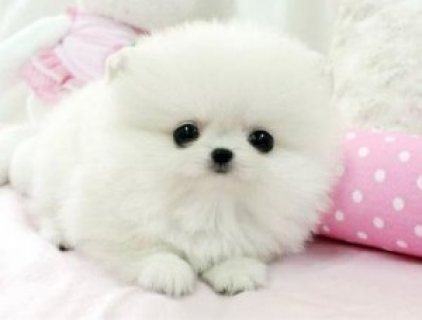 Lovely Male and Female Tiny Teacup Pomeranian Puppies For Adopti