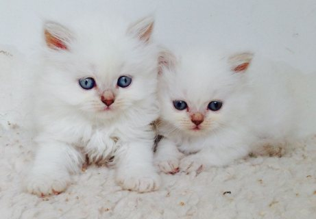 Ragdoll Kittens looking for good homes