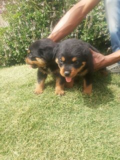 For Sale  rottweiler puppy 60 days