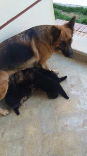 German Shepherd puppies for sale ( 40 days)