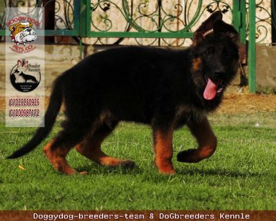 for sale puppies German Shepherd