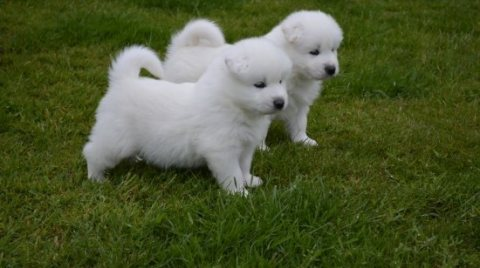 صور 2 Adorable Samoyed puppies for good home 	Post your Free ad her 1