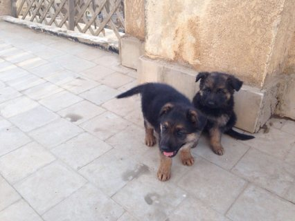 For Sale German shepherd puppies 40 days