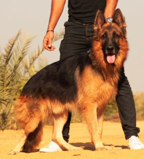 للبيع German Shepherd  ذكر  4 سنوات