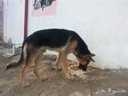 كلب للبيع سرعه في البيع