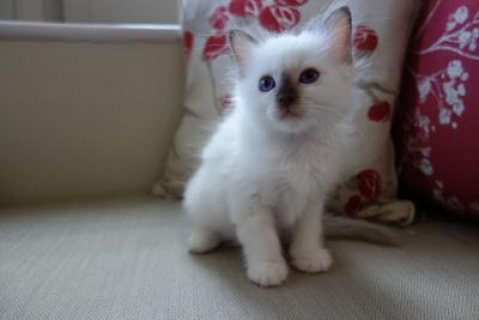 صور Birman Kittens For Sale 1