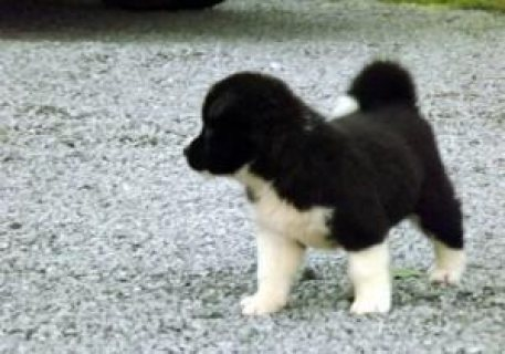 magnificent Akita puppies for adoption