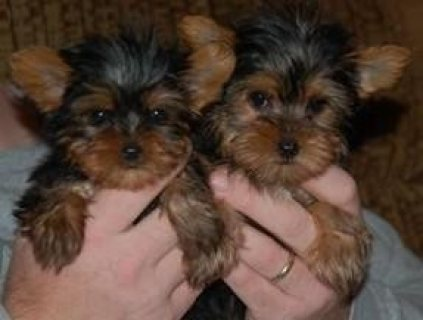 Precious Yorkshire Terrier Puppies
